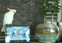 Попугай-рэпер спел песню «Gangnam Style»