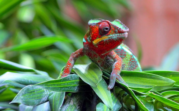 Как хамелеон меняет свой цвет?