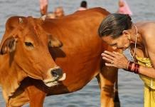 Почему корова – священное животное в Индии?