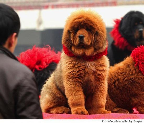 Самая дорогая собака в мире стоит $1 500 000