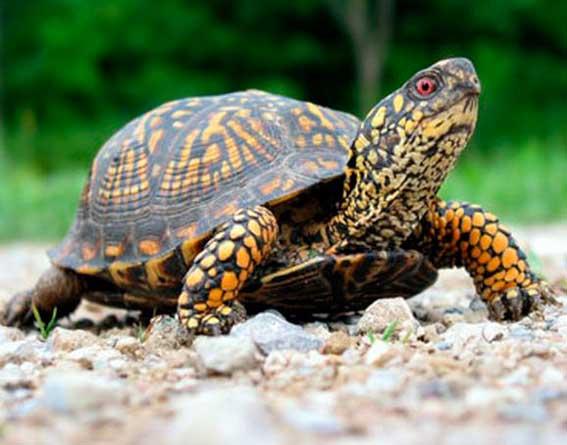 Сколько лет живут черепахи?