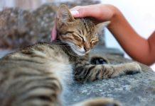 гормон стресса у кошек