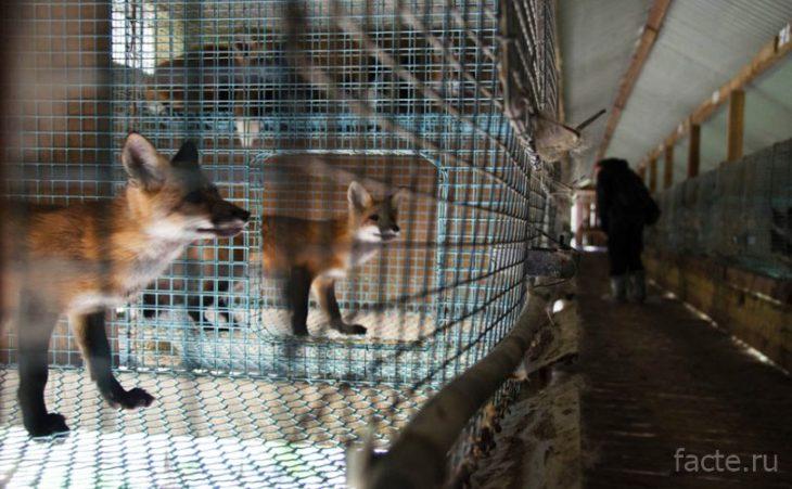 лисы в клетках