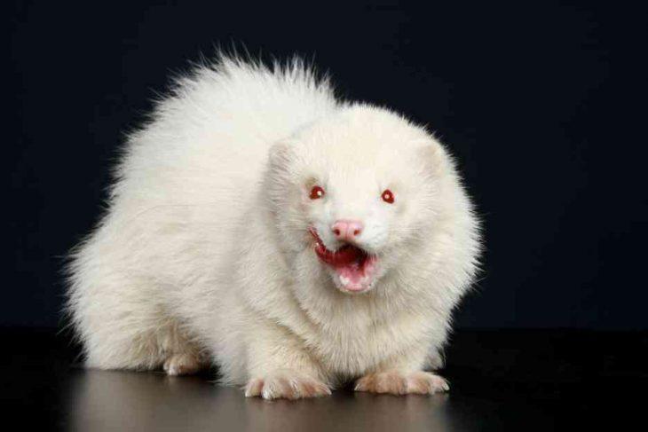 хорёк альбинос