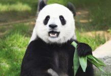 почему панды вымирают