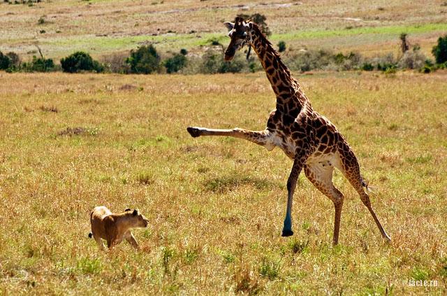 жираф защищается от льва
