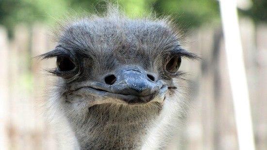 Удивительные факты о страусах