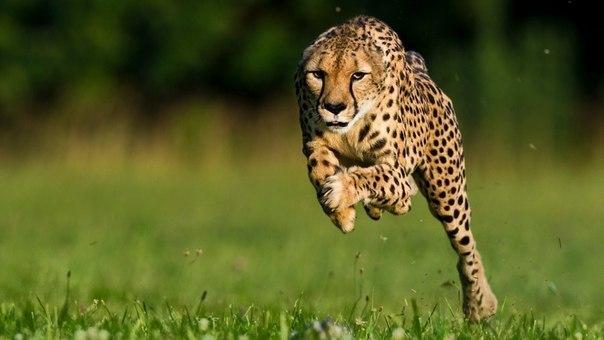 Самое быстрое наземное животное