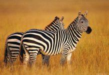 полоса зебры