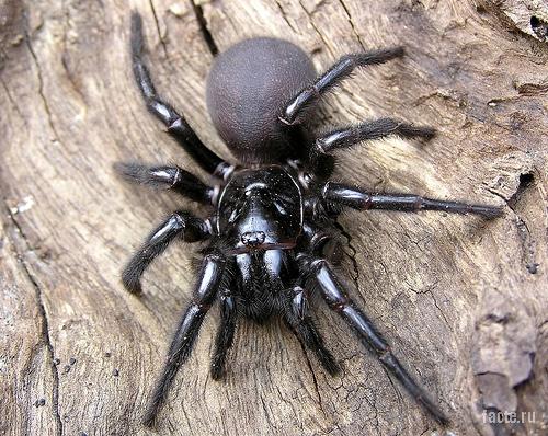 Атракс паук