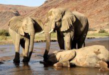 Ритуал захоронения у слонов