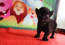 чёрный тигр детёныш