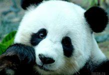 Чем питается панда
