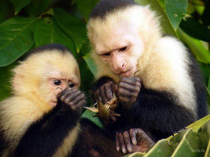 обезьяны-капуцины