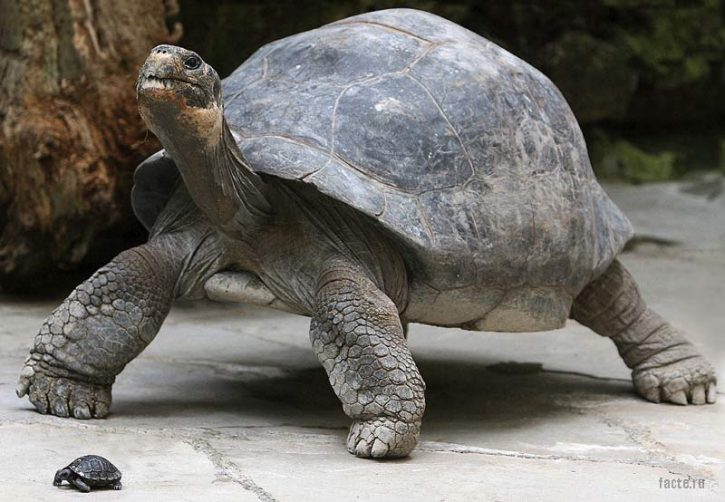 Гигантская черепаха