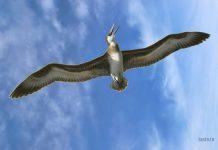 Pelagornis самая большая птица в мире