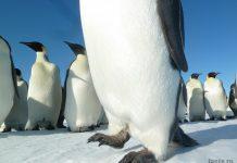 лапы пингвина