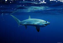 как рожает акула