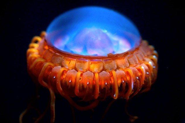 медуза атолла