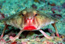 рыба нетопырь