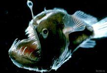 глубоководные обитатели океана