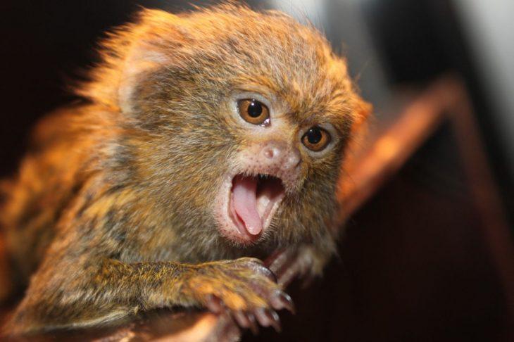 обезьяна-игрунок