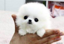 самые маленькие породы собак