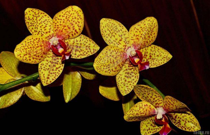 золотая орхидея