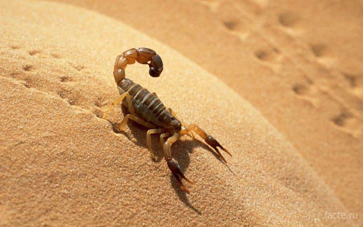 факты о скорпионах - пустыня