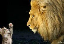 Котенок и лев