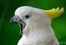 Кричащий попугай
