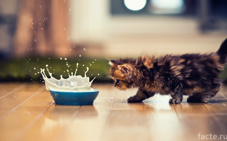 Котенок и молоко