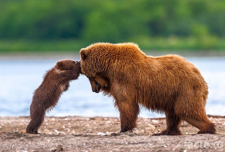 Медвежонок с мамой