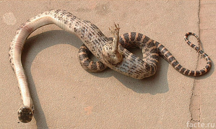 Однолапая змея