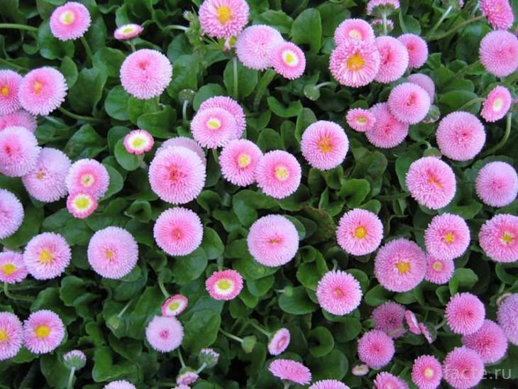 Цветы маргаритки