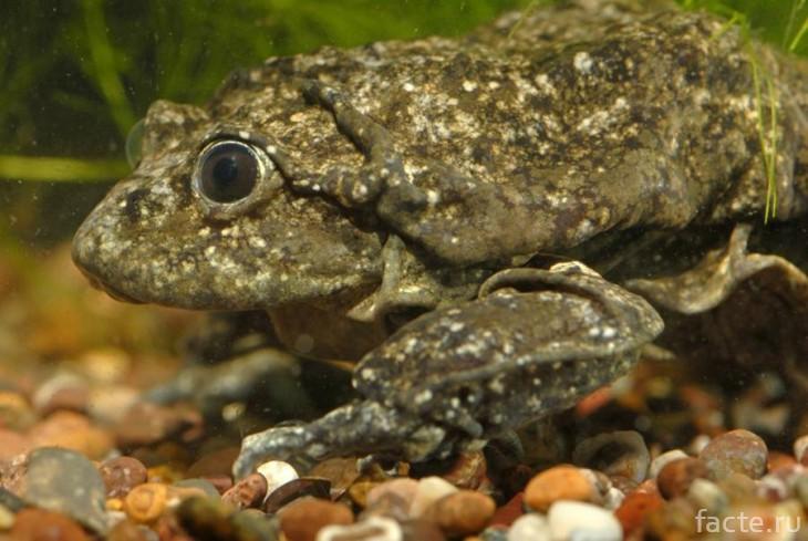 Титикакская жаба