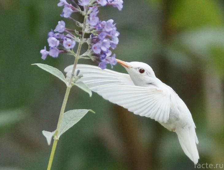 Альбинос колибри