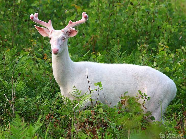 Альбинос олень