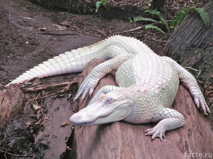 Белый аллигатор