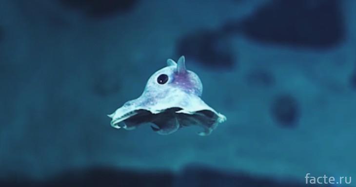 Думбо осьминог с ушами