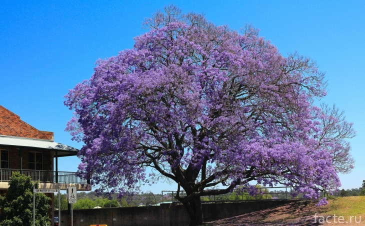 Фиалковое дерево