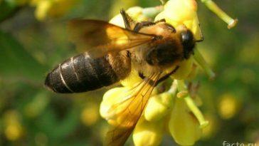 Неправильный мёд, который дают неправильные пчелы