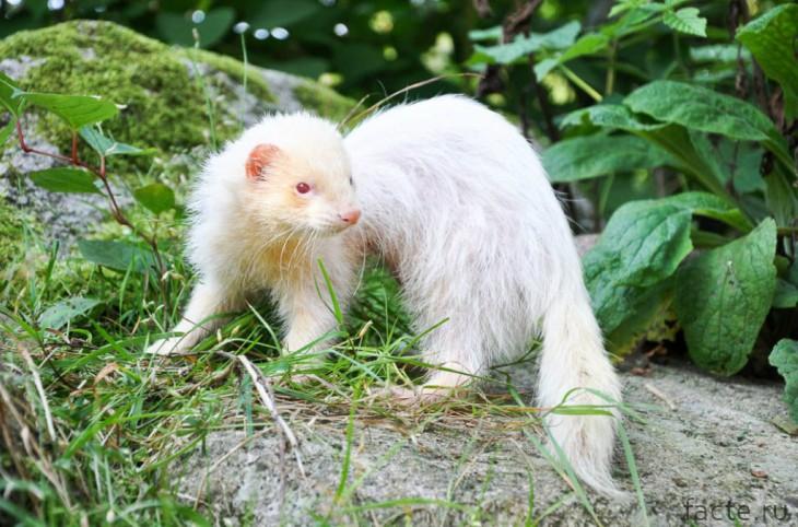 Хорек альбинос