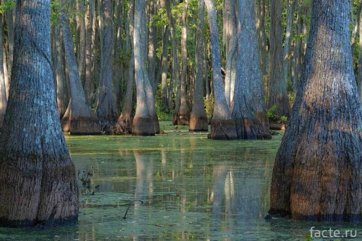 Озеро Каддо и его кипарисы