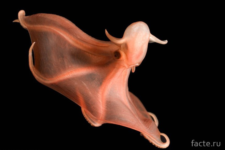 Плывущий осьминог