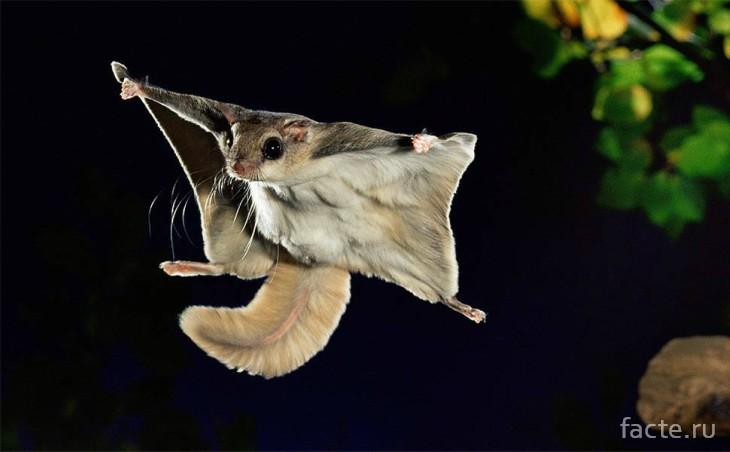Скальная летяга