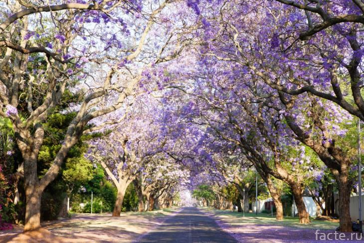 Жакаранда - палисандровое дерево
