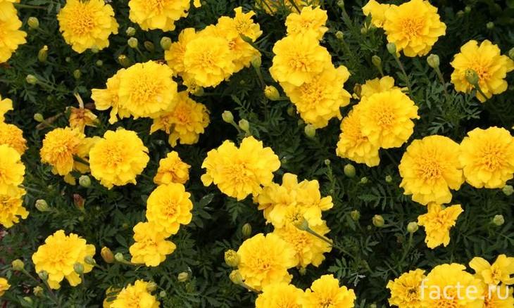Желтые гвоздики