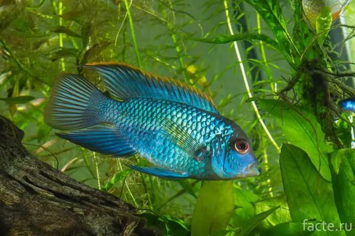 Рыба Акара голубая