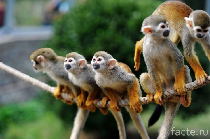 Белки-обезьяны 2